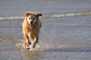 Golden Retriever on the beach Goulien