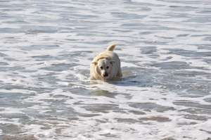 Labrador Emile loves to go swimming on La Palue beach