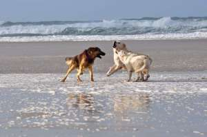 Three dogs playing on the beach La Palue